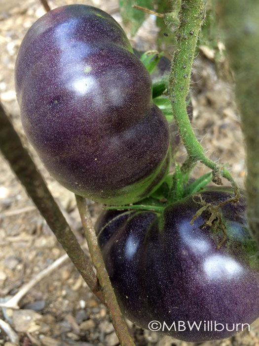 'Black Beauty' (Baker Creek Heirloom Seeds)