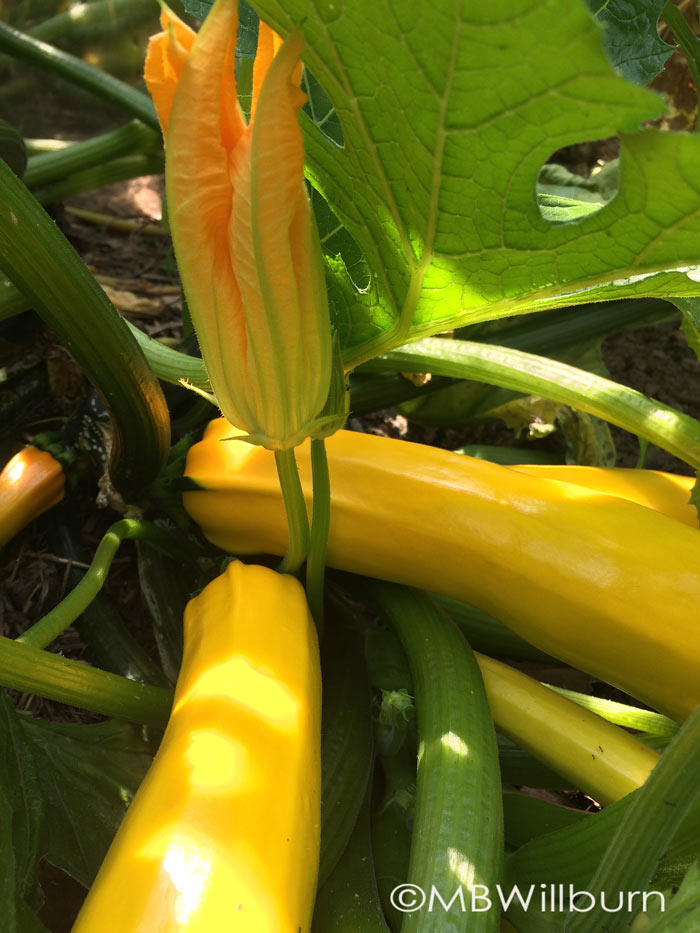 'Gold Rush' summer squash - an All America Selections winner 35 years ago and still a fantastic choice for vigor, cropping, and let's be honest - beauty.