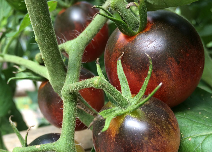 Time For a Tomato Tasting! - Small Town Gardener