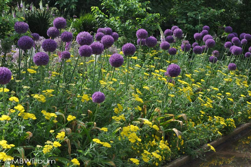 Allium 'Sensation' underplanted with yarrow at the Sarah P. Duke garden in North Carolina spring garden bulb