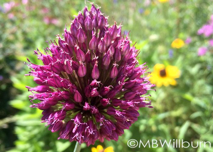 A. sphaerocephalon spring garden bulbs