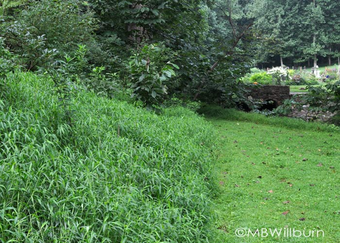 weeding, japanese stilt grass, new garden
