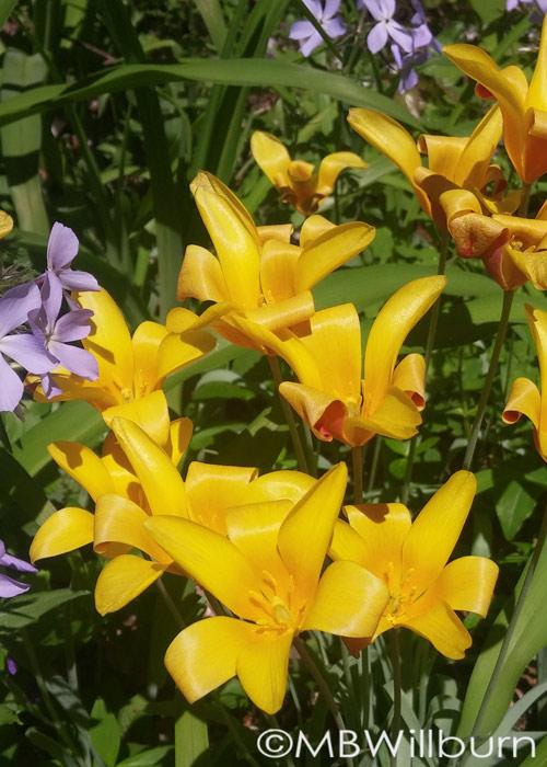 Tulipa clusiana var. chrysantha spring garden bulb