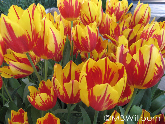Rembrandt-type yellow red spring garden bulbs