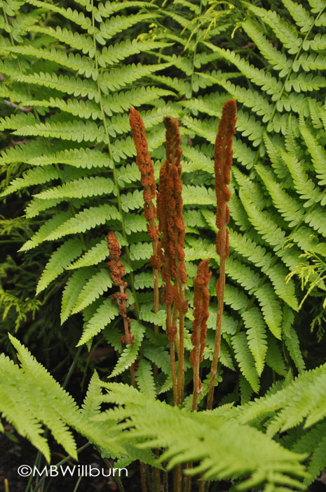 cinnamon fern, fern, native ferns