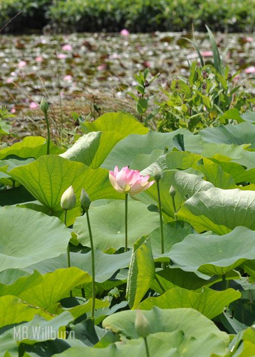 lotus, water gardens