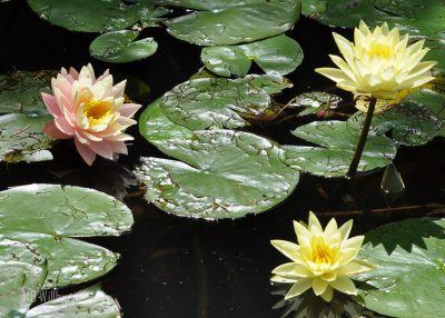 lily pads, lilypons, water lilies