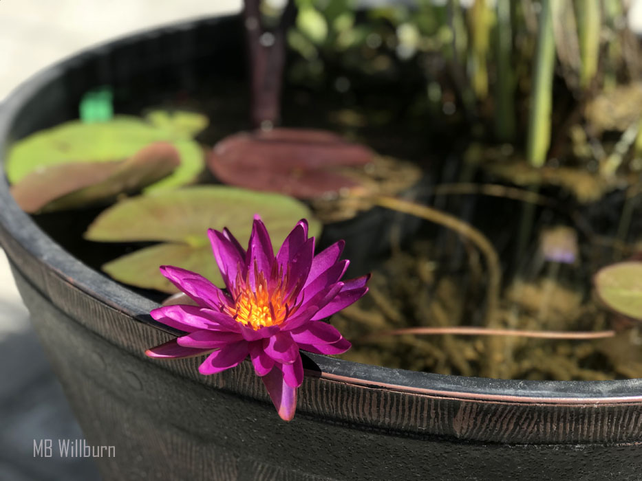 Purple fantasy water lily, lilypons