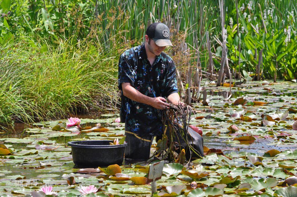 water lilies, water garden