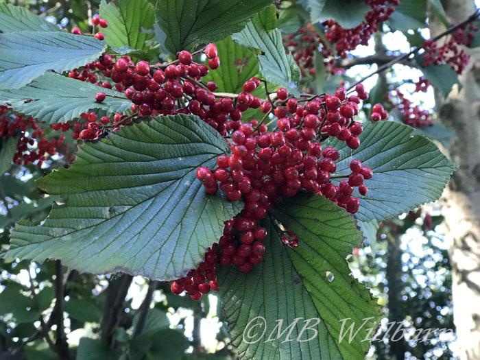 viburnum, viburnum dilatatum, autumn berries