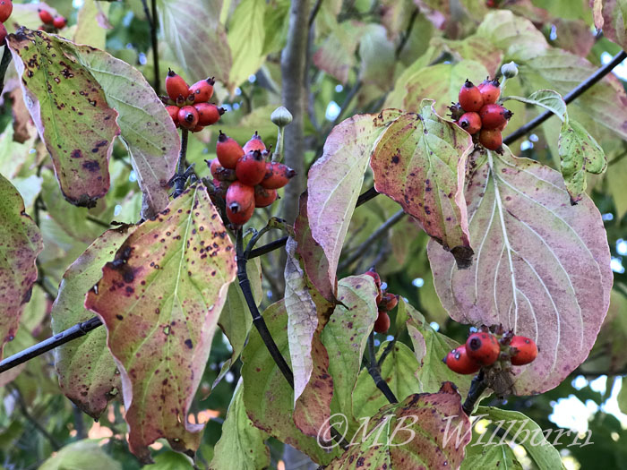 dogwood berries, dogwood, autumn berries