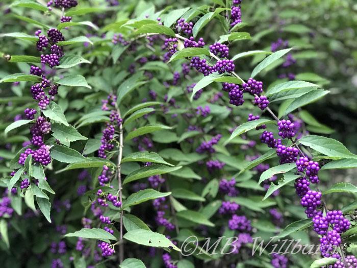 beautyberry, callicarpa dichotoma