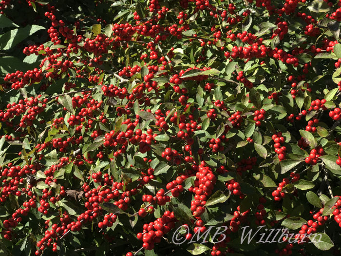 holly, ilex, red sprite