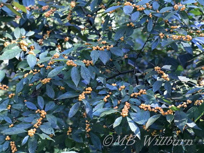 ilex, holly, winter gold, autumn berries