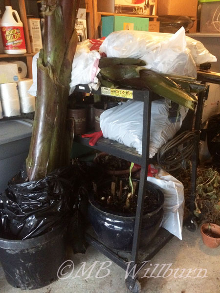 overwintering tropicals, garage plants