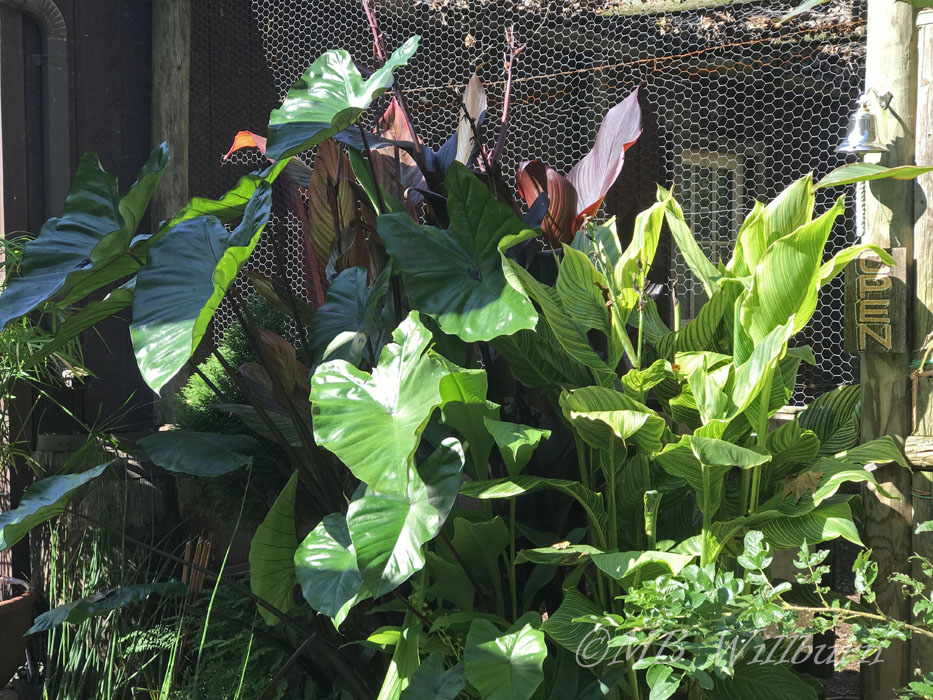 Black Stem Colocasia, Tropicanna canna