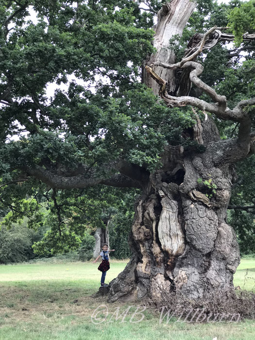 ancient oak, blenheim Palace