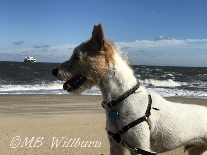 Jack Russell Terrier, Mungo, Beach dog, dogs