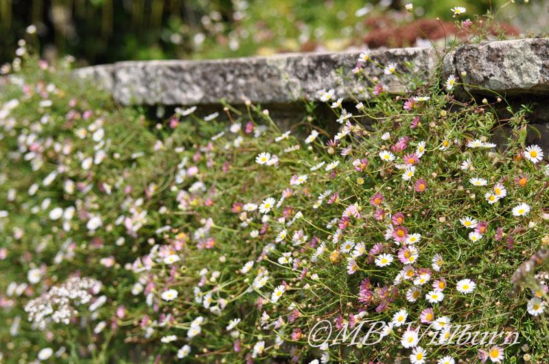 erigeron karvinskianus, great dixter, daisies