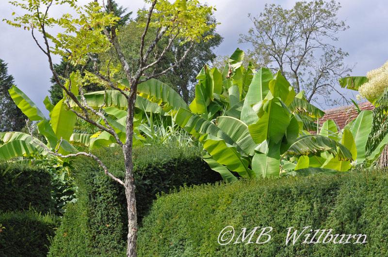 exotic garden, tropicals, great dixter, exotic garden, musa basjoo