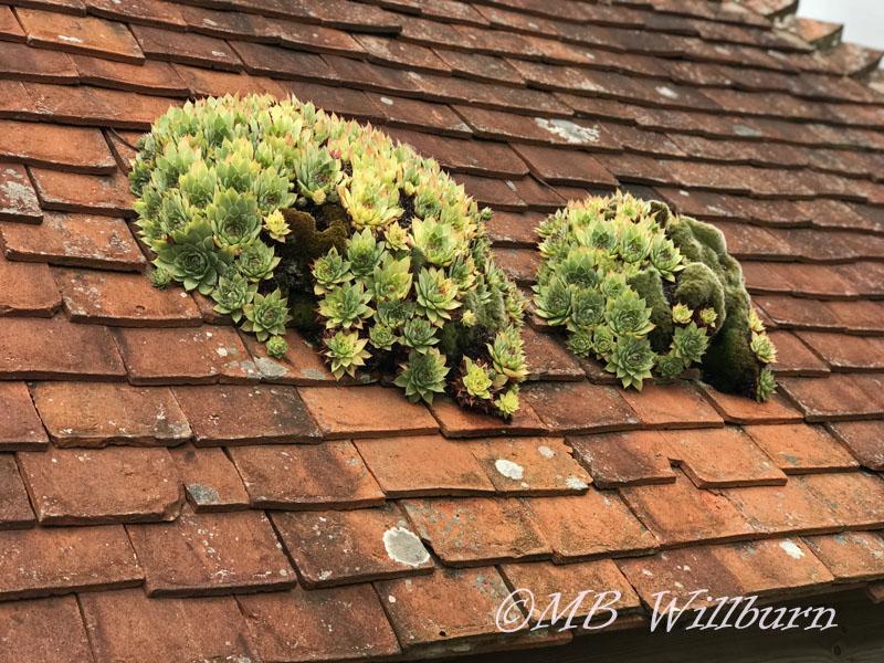 houseleeks, tiled roof, Great Dixter