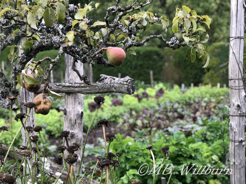 great dixter, orchard garden, pear tree, pears
