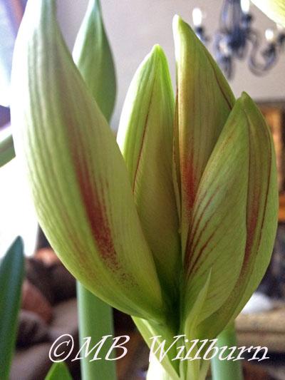 ambiance amaryllis