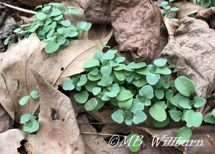 winter weed seedlings