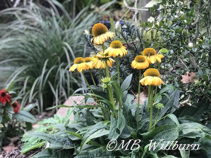 Echinacea 'Granada Gold'