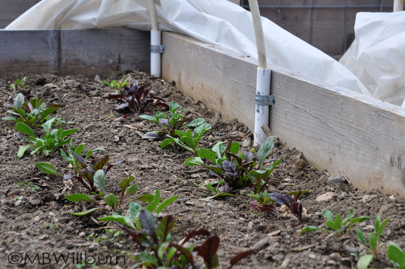 chard in garden bed, seeds, seed swap