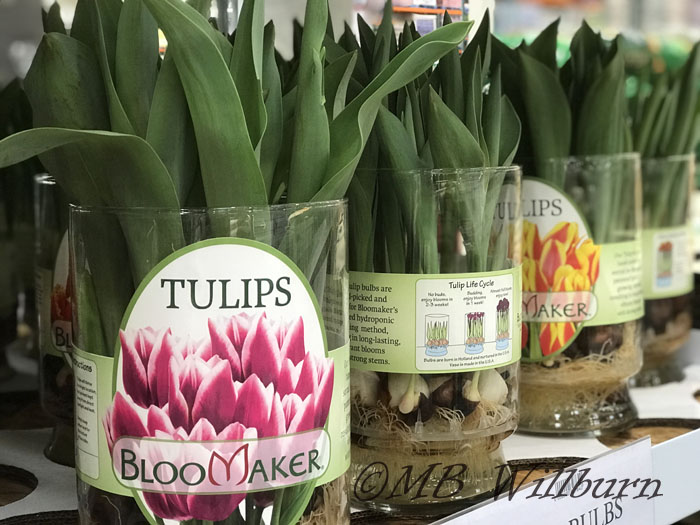 tulip bulbs being forced