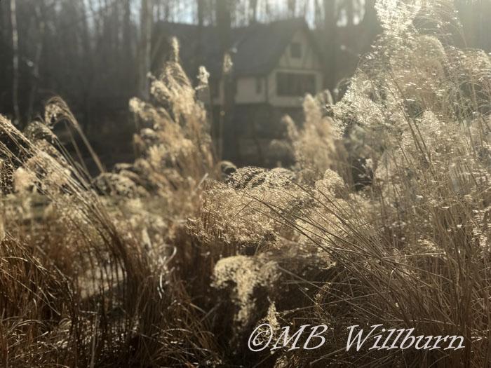 miscanthus sinensis gracillimus in winter garden