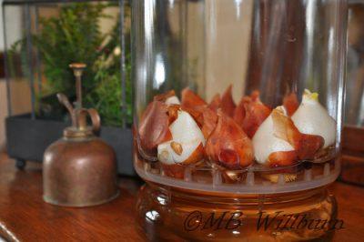 tulip bulbs in water