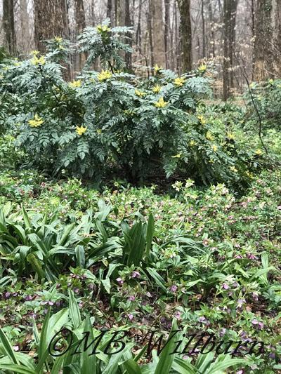 hellebore, mahonia, rohdea in winter garden