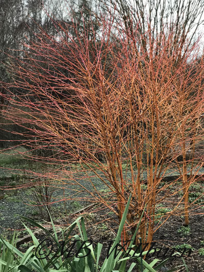 midwinter fire cornus