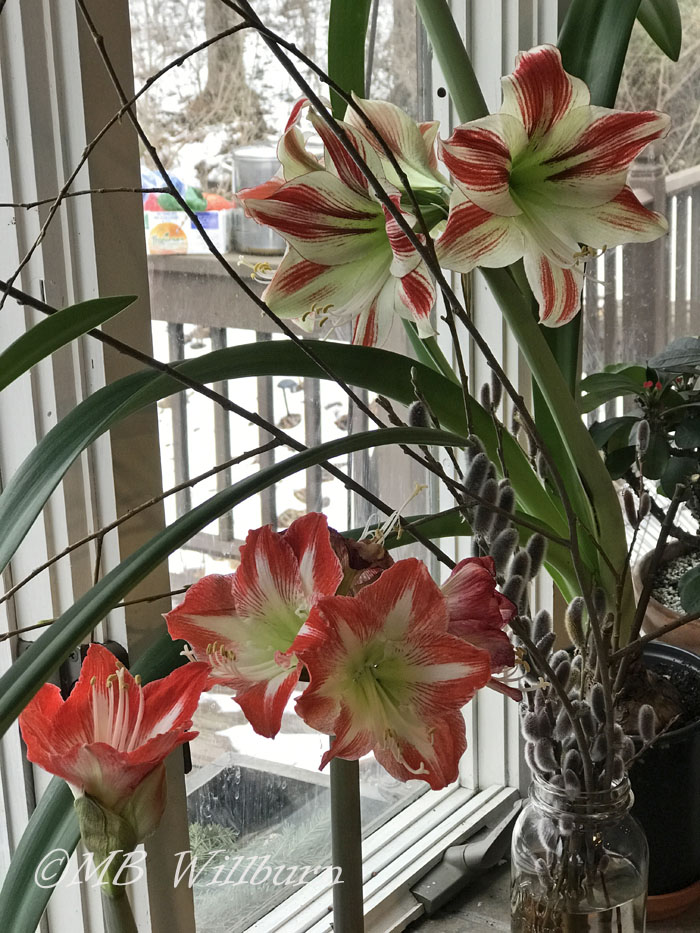 amaryllis and willow