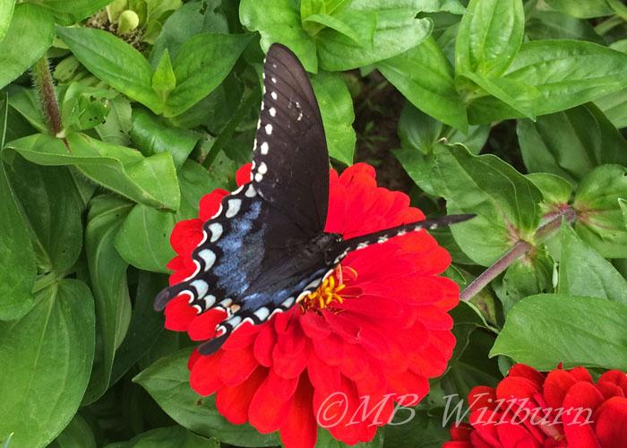 butterfly, zinnia