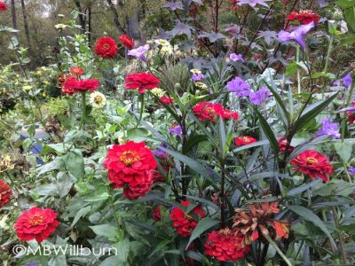 zinnia and ruellia
