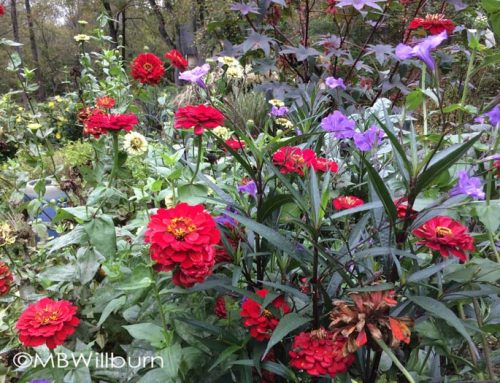 The Carefree Magic of Zinnia