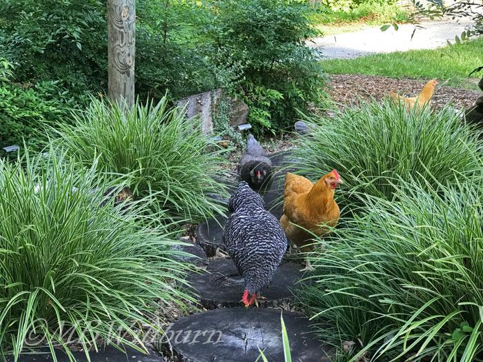 chickens, garden