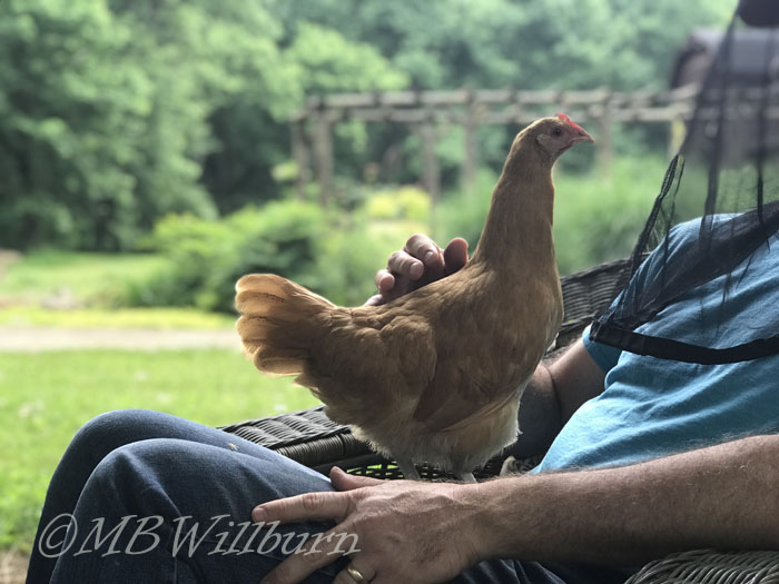 chickens on lap, garden