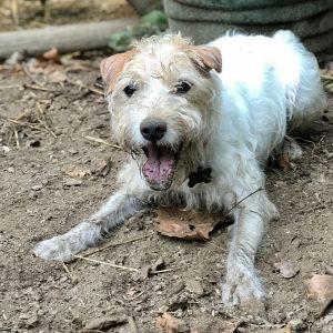 jack russell, garden dog, mungo