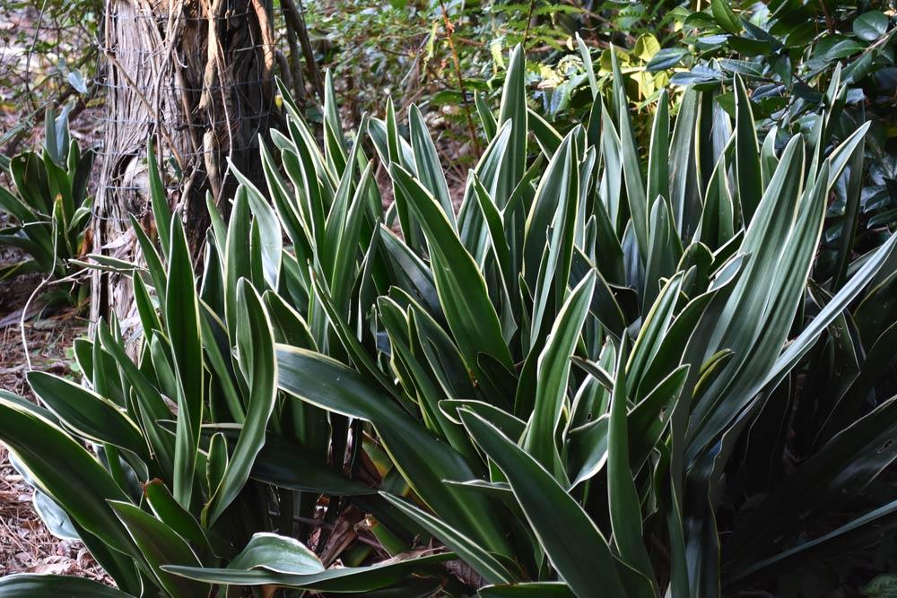Rhodea japonica