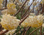 edgeworthia chrysantha smalltowngardener.com