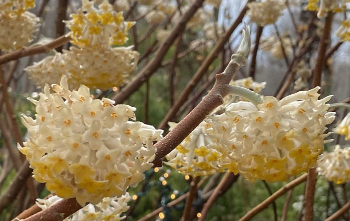 edgeworthia chrysantha smalltowngardener.com