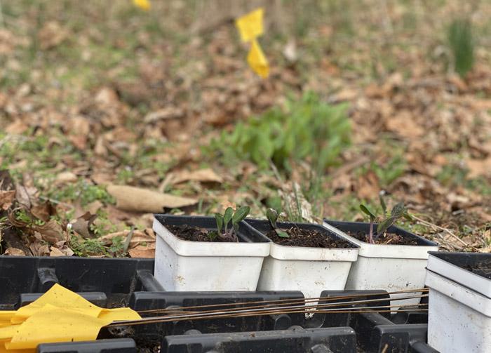 mertensia bluebells smalltowngardener.com