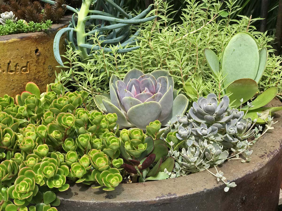 Succulent trough at Oldmeadow