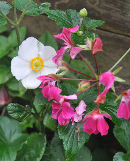 windflower and geranium