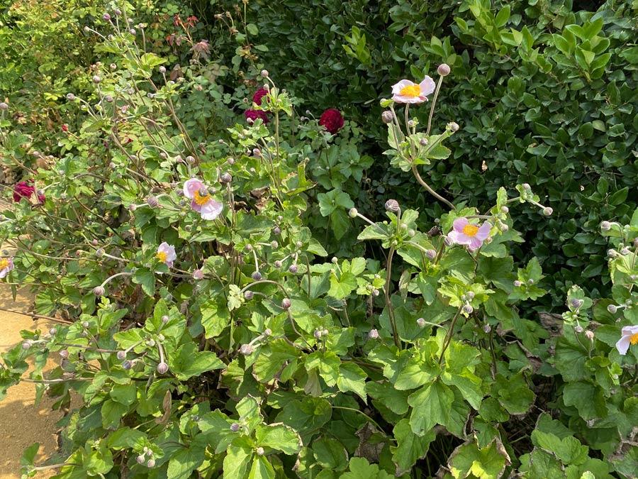 september charm anemone windflower