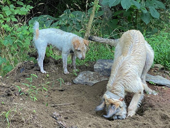 irish wolfhound jack russell